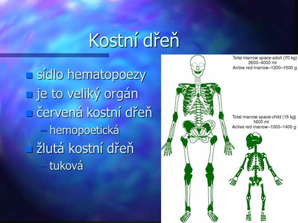 Kostní dřeň n sídlo hematopoezy n je to veliký orgán n červená kostní dřeň –hemopoetická n žlutá kostní dřeň –tuková