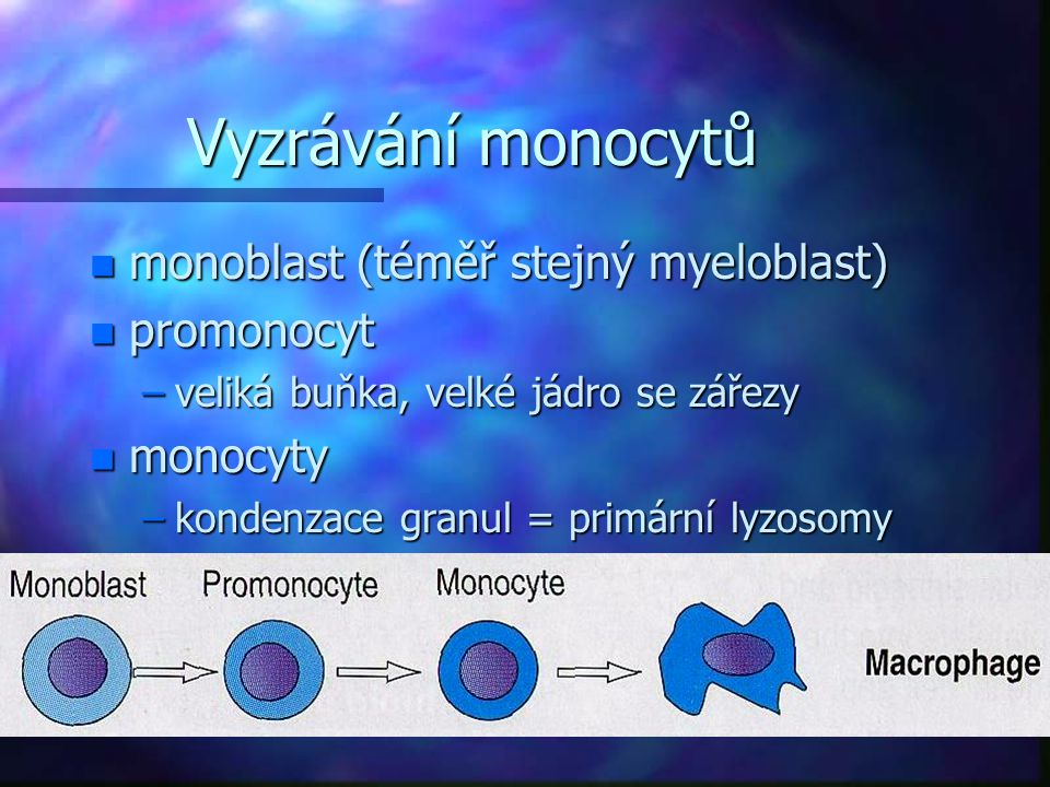 Vyzrávání monocytů n monoblast (téměř stejný myeloblast) n promonocyt –veliká buňka, velké jádro se zářezy n monocyty –kondenzace granul = primární ly