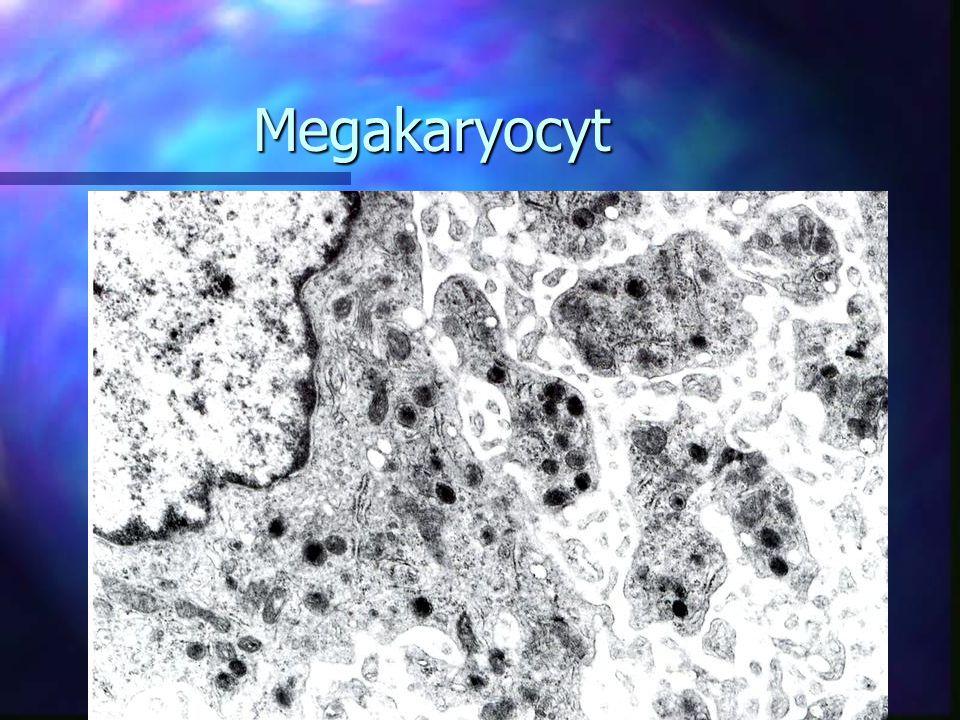 Megakaryocyt