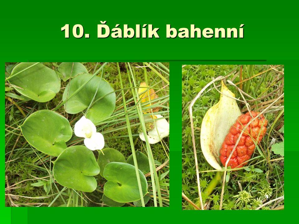 10. Ďáblík bahenní
