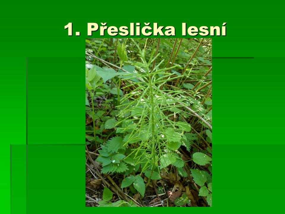 1. Přeslička lesní