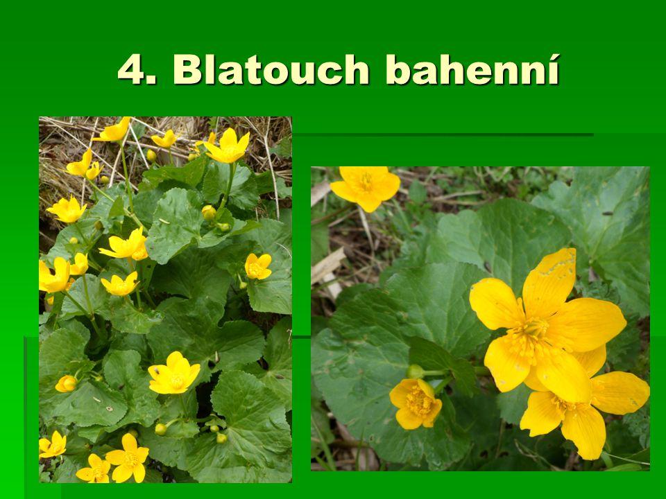 4. Blatouch bahenní