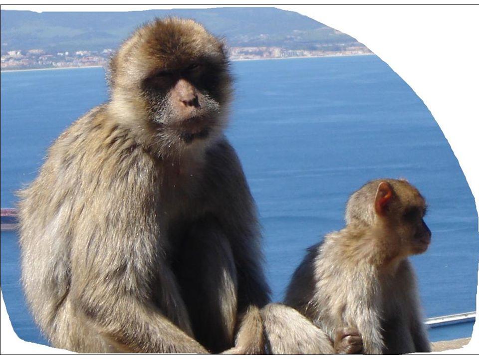 """Gibraltar je území, kde Britové mohou vládnout, ale podle opičích pravidel. Legenda praví, že pokud opice budou pobývat na """"Skále"""", zůstane území Gibr"""