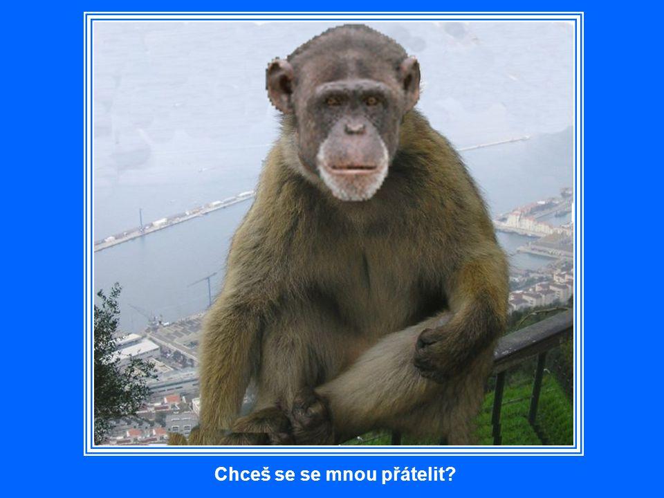 Opice mají svůj vyhrazený domov – opičí doupě. Mohou se ale volně toulat, což take činí hlavně při hledání stánků s občerstvením, stinných míst, ovocn