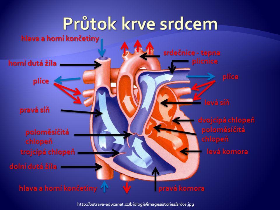 tepenná část - dopravit krev pod tlakem z levé srdeční komory do kapilární sítě jednotlivých tkání a orgánů mikrocirkulace (kapiláry) – výměna kyslíku, CO2, živin a odpadních látek mezi krví a tkáněmi venózní část – dopravit krev z jednotlivých orgánů do pravé srdeční síně