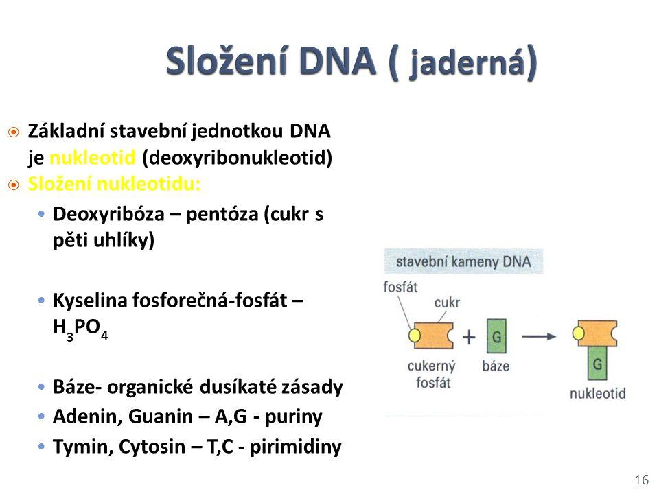  Základní stavební jednotkou DNA je nukleotid (deoxyribonukleotid)  Složení nukleotidu: Deoxyribóza – pentóza (cukr s pěti uhlíky) Kyselina fosforeč
