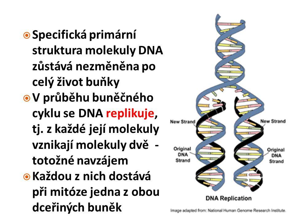  Specifická primární struktura molekuly DNA zůstává nezměněna po celý život buňky  V průběhu buněčného cyklu se DNA replikuje, tj. z každé její mole