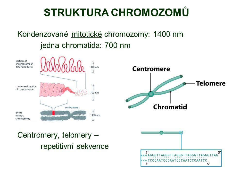 STRUKTURA CHROMOZOMŮ Kondenzované mitotické chromozomy: 1400 nm jedna chromatida: 700 nm Centromery, telomery – repetitivní sekvence