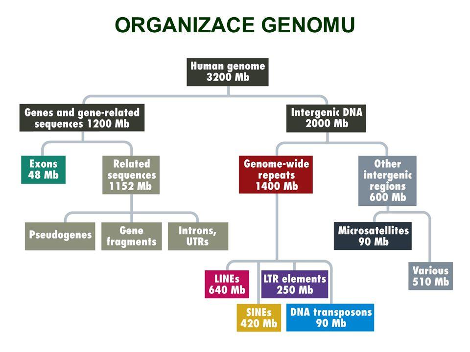 ORGANIZACE GENOMU