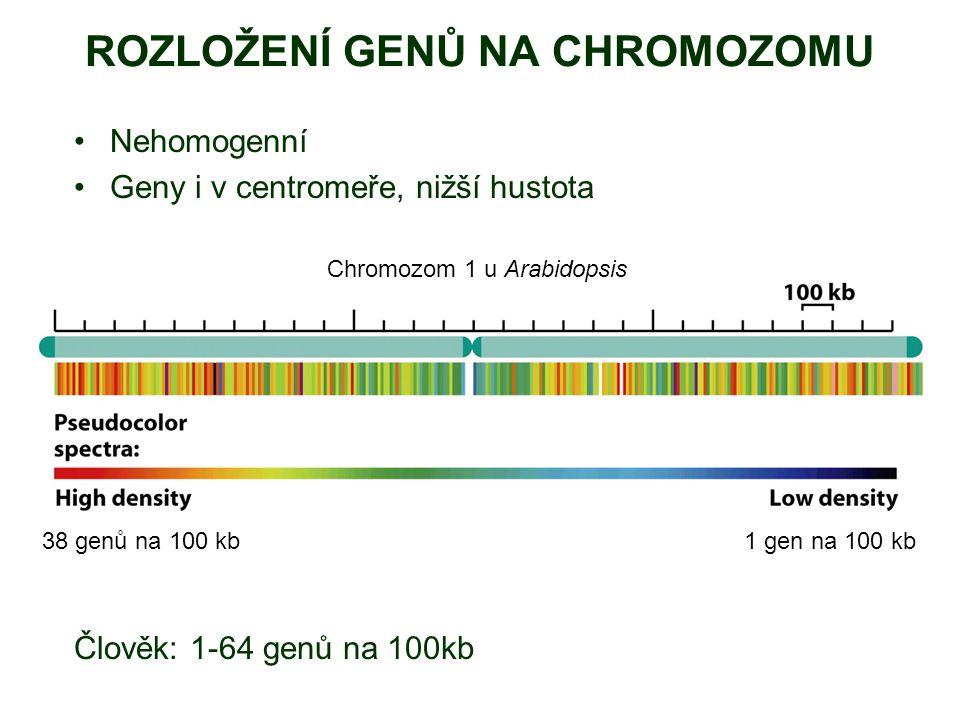 ROZLOŽENÍ GENŮ NA CHROMOZOMU Nehomogenní Geny i v centromeře, nižší hustota Člověk: 1-64 genů na 100kb 38 genů na 100 kb1 gen na 100 kb Chromozom 1 u Arabidopsis