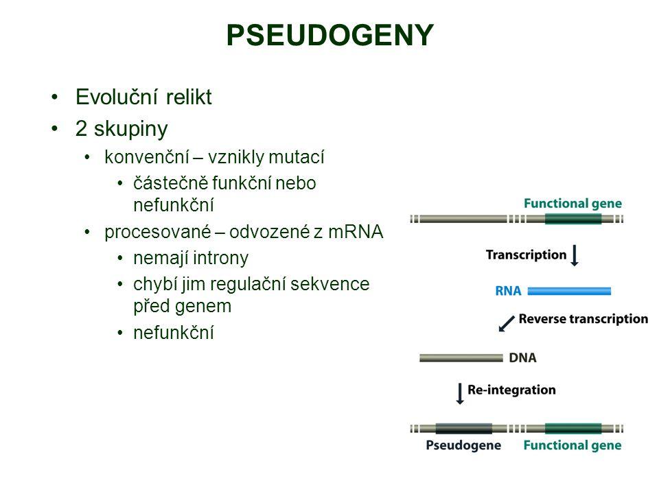 PSEUDOGENY Evoluční relikt 2 skupiny konvenční – vznikly mutací částečně funkční nebo nefunkční procesované – odvozené z mRNA nemají introny chybí jim regulační sekvence před genem nefunkční
