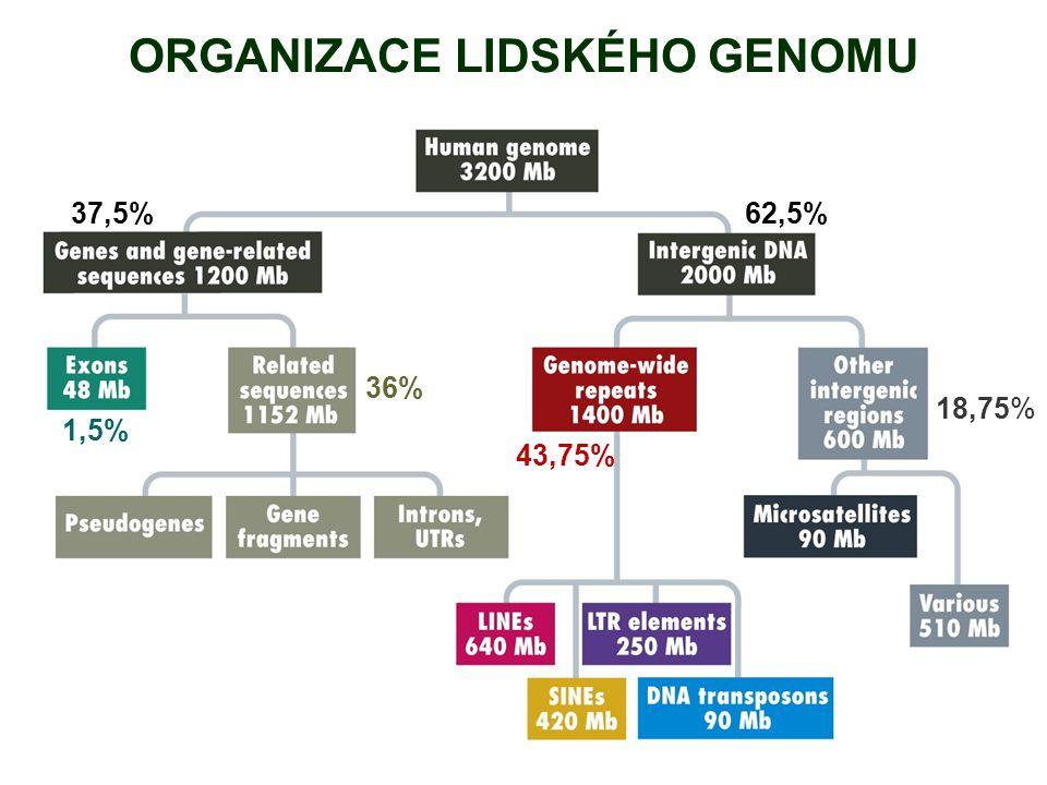 ORGANIZACE LIDSKÉHO GENOMU 1,5% 37,5%62,5% 43,75% 18,75% 36%