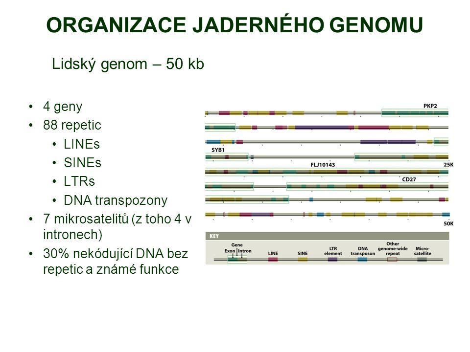 ORGANIZACE JADERNÉHO GENOMU Lidský genom – 50 kb 4 geny 88 repetic LINEs SINEs LTRs DNA transpozony 7 mikrosatelitů (z toho 4 v intronech) 30% nekódující DNA bez repetic a známé funkce