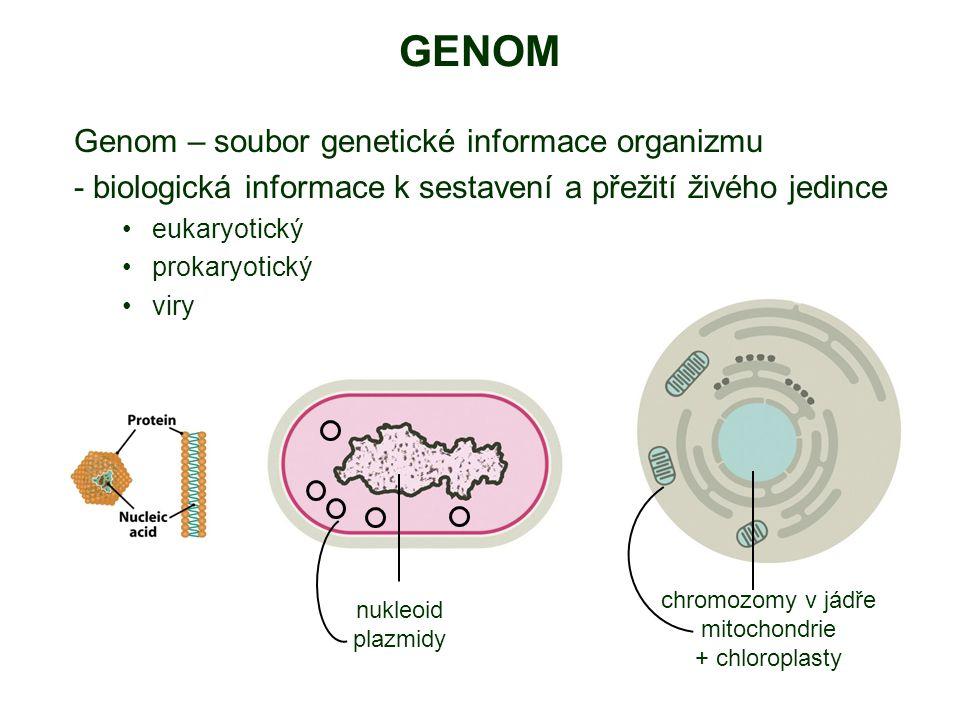 GENOM Genom – soubor genetické informace organizmu - biologická informace k sestavení a přežití živého jedince eukaryotický prokaryotický viry nukleoid plazmidy chromozomy v jádře mitochondrie + chloroplasty