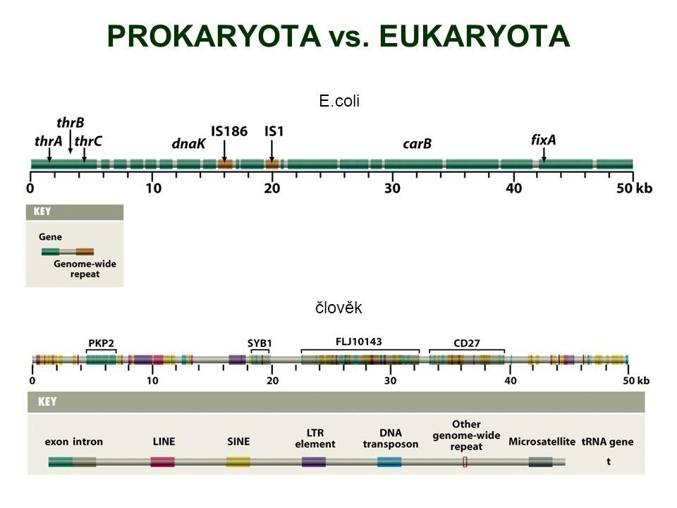PROKARYOTA vs. EUKARYOTA E.coli člověk