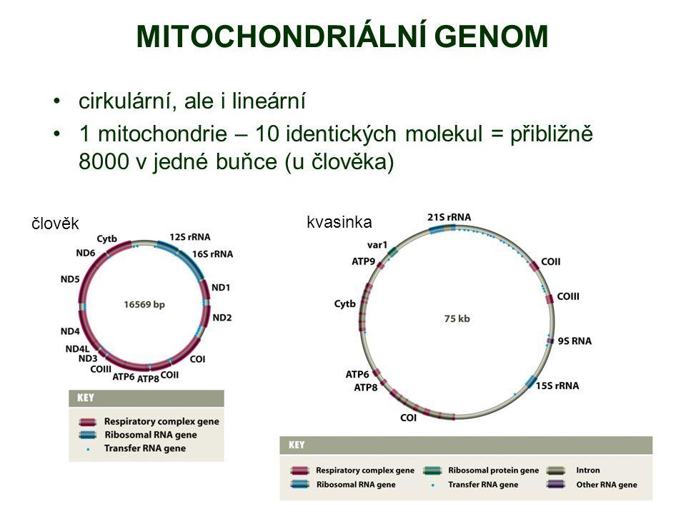 MITOCHONDRIÁLNÍ GENOM cirkulární, ale i lineární 1 mitochondrie – 10 identických molekul = přibližně 8000 v jedné buňce (u člověka) člověk kvasinka