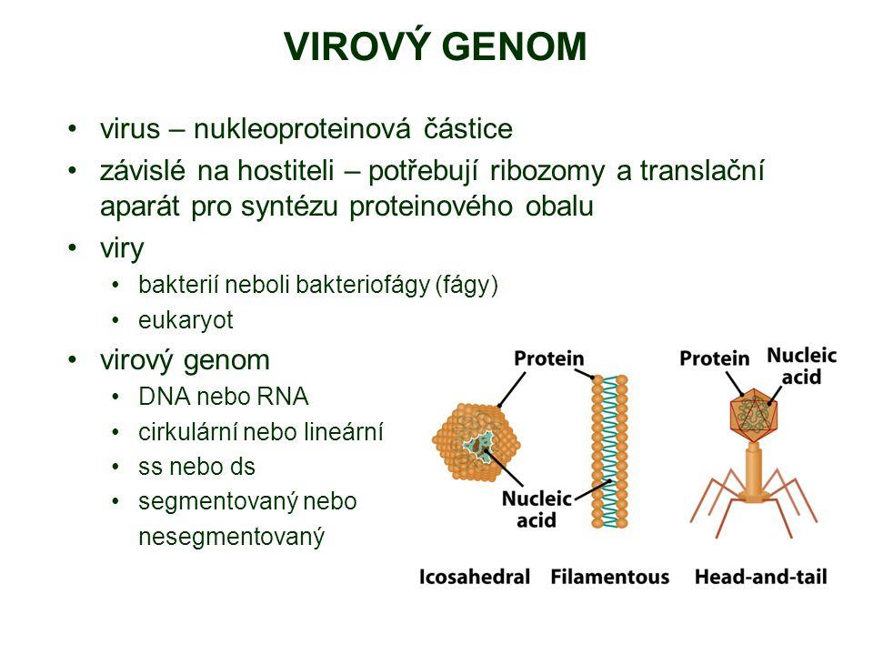 VIROVÝ GENOM virus – nukleoproteinová částice závislé na hostiteli – potřebují ribozomy a translační aparát pro syntézu proteinového obalu viry bakterií neboli bakteriofágy (fágy) eukaryot virový genom DNA nebo RNA cirkulární nebo lineární ss nebo ds segmentovaný nebo nesegmentovaný