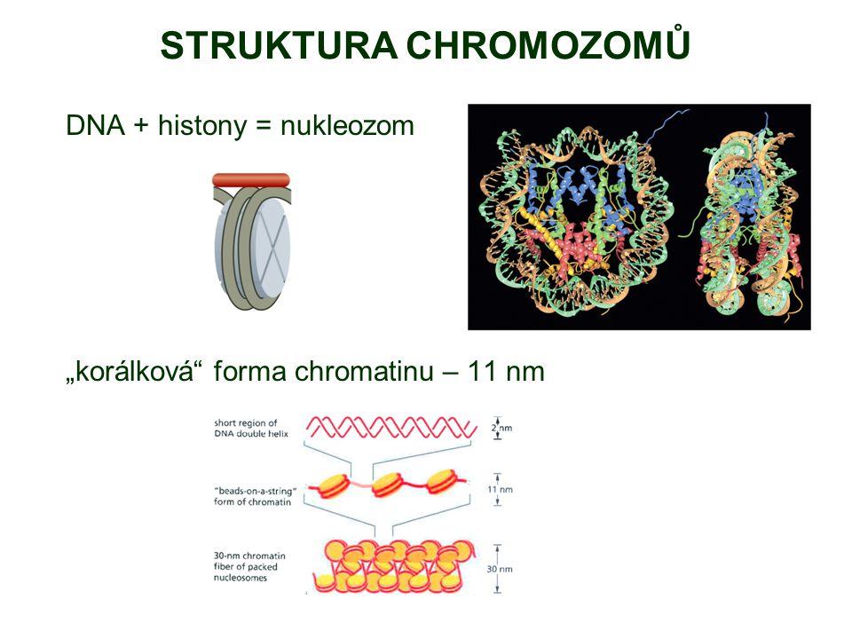 STRUKTURA CHROMOZOMŮ 30 nm chromatinové vlákno několik teorií, 2 modely: solenoidový model – pouze spojovací histony (např.