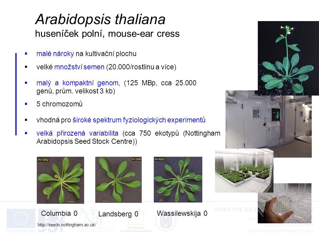  malé nároky na kultivační plochu Arabidopsis thaliana huseníček polní, mouse-ear cress  velké množství semen (20.000/rostlinu a více)  malý a kompaktní genom, (125 MBp, cca 25.000 genů, prům.