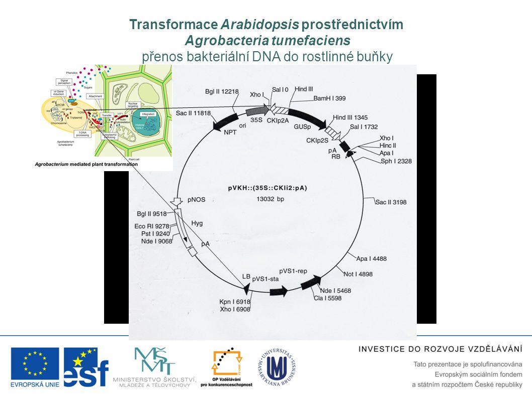 Transformace Arabidopsis prostřednictvím Agrobacteria tumefaciens přenos bakteriální DNA do rostlinné buňky