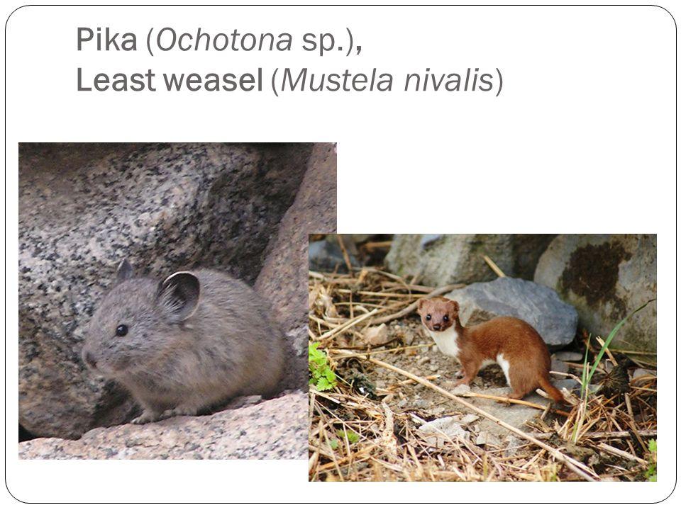 Pika (Ochotona sp.), Least weasel (Mustela nivalis)