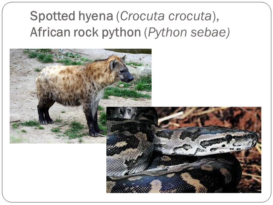 Spotted hyena (Crocuta crocuta), African rock python (Python sebae)