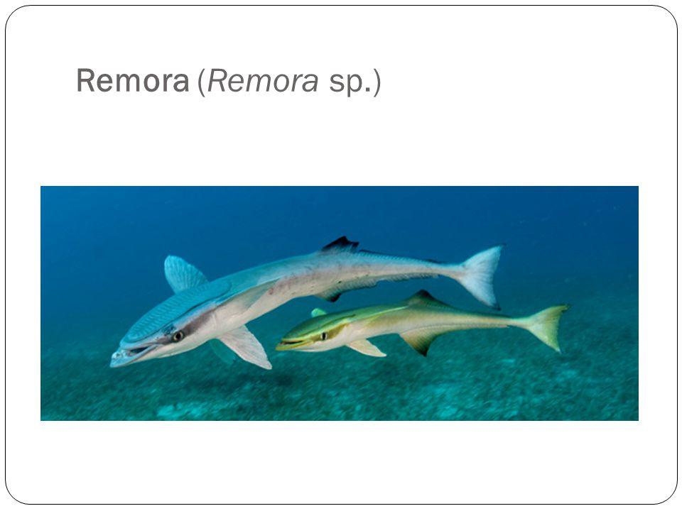 Remora (Remora sp.)
