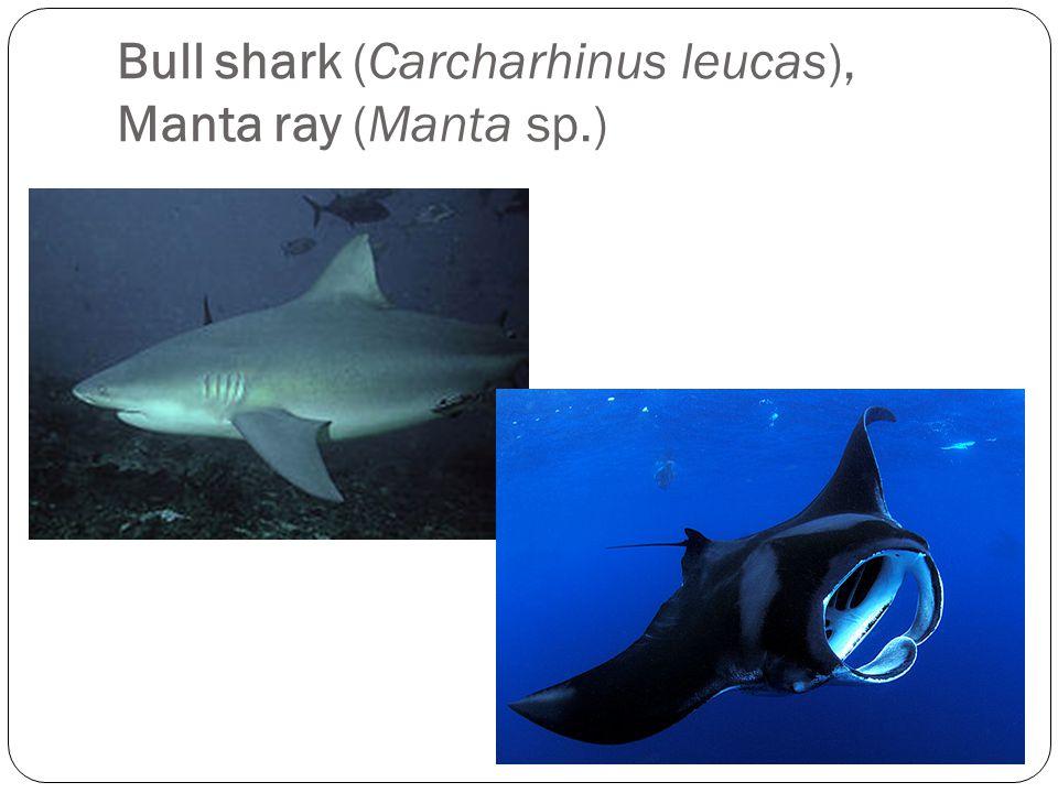Bull shark (Carcharhinus leucas), Manta ray (Manta sp.)