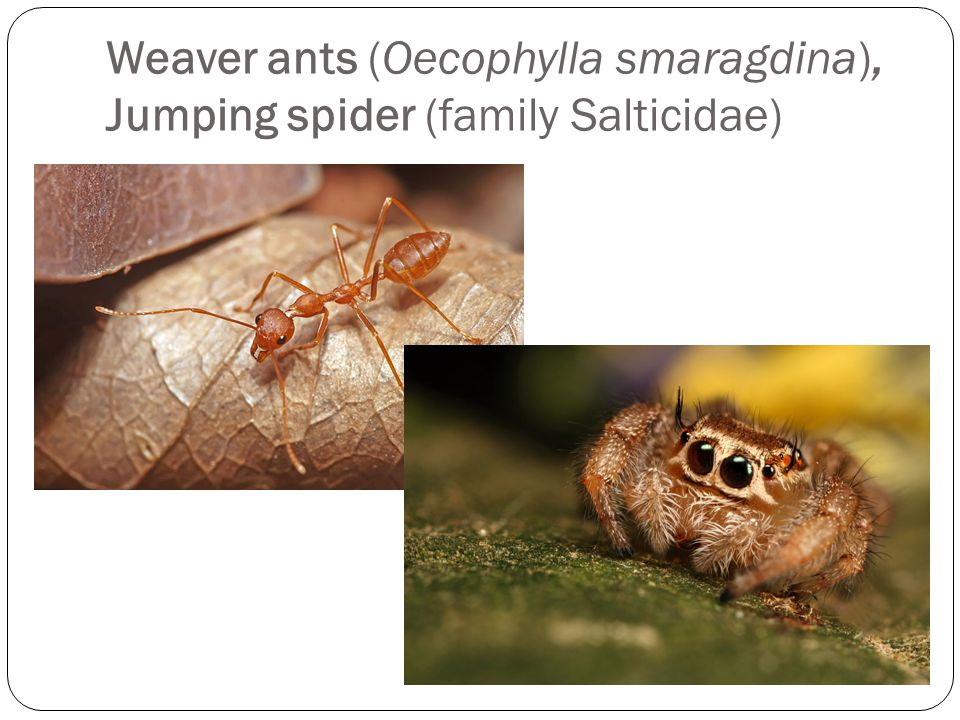 Weaver ants (Oecophylla smaragdina), Jumping spider (family Salticidae)