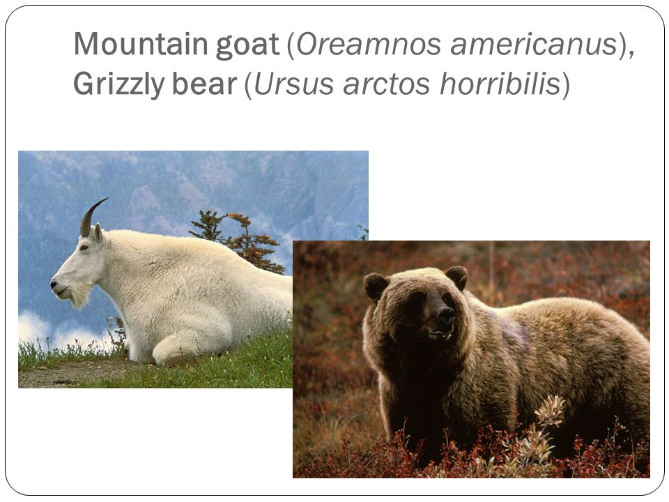 Mountain goat (Oreamnos americanus), Grizzly bear (Ursus arctos horribilis)