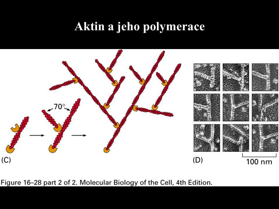 Aktin a jeho polymerace