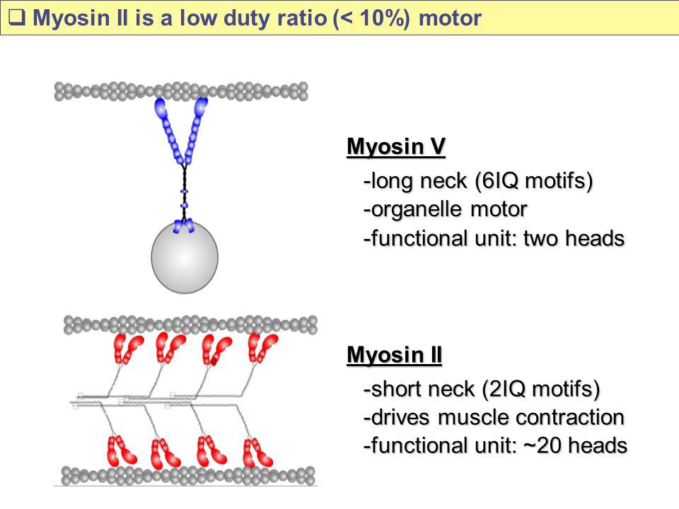 Myosin V -long neck (6IQ motifs) -functional unit: two heads -organelle motor Myosin II -short neck (2IQ motifs) -functional unit: ~20 heads -drives muscle contraction  Myosin II is a low duty ratio (< 10%) motor