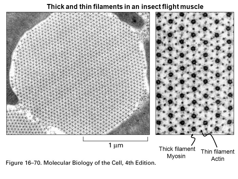 Thick and thin filaments in an insect flight muscle Thick filament Myosin Thin filament Actin