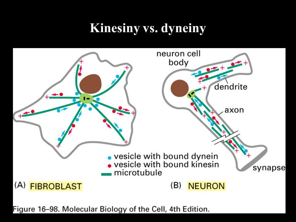 Kinesiny vs. dyneiny