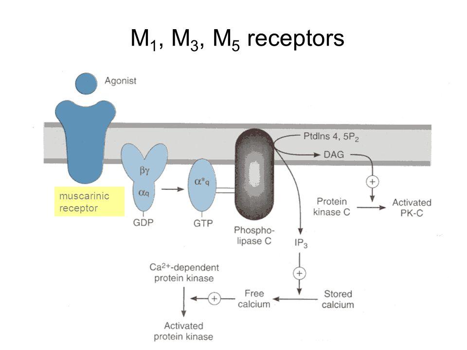 M 1, M 3, M 5 receptors muscarinic receptor