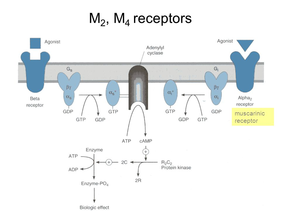 M 2, M 4 receptors muscarinic receptor