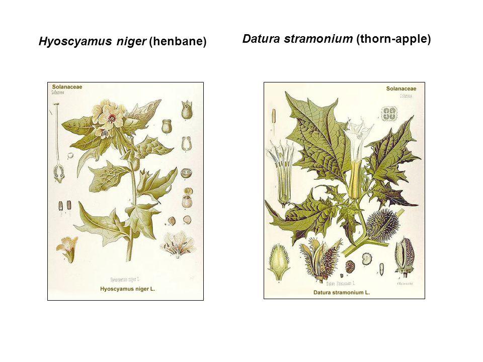 Hyoscyamus niger (henbane) Datura stramonium (thorn-apple)