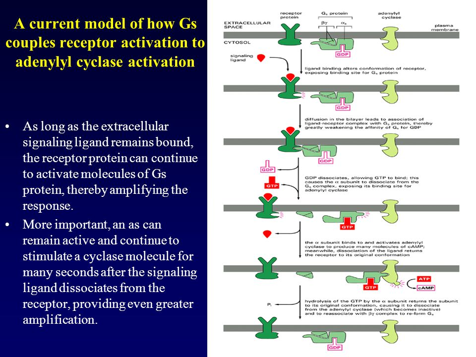 A current model of how Gs couples receptor activation to adenylyl cyclase activation As long as the extracellular signaling ligand remains bound, the