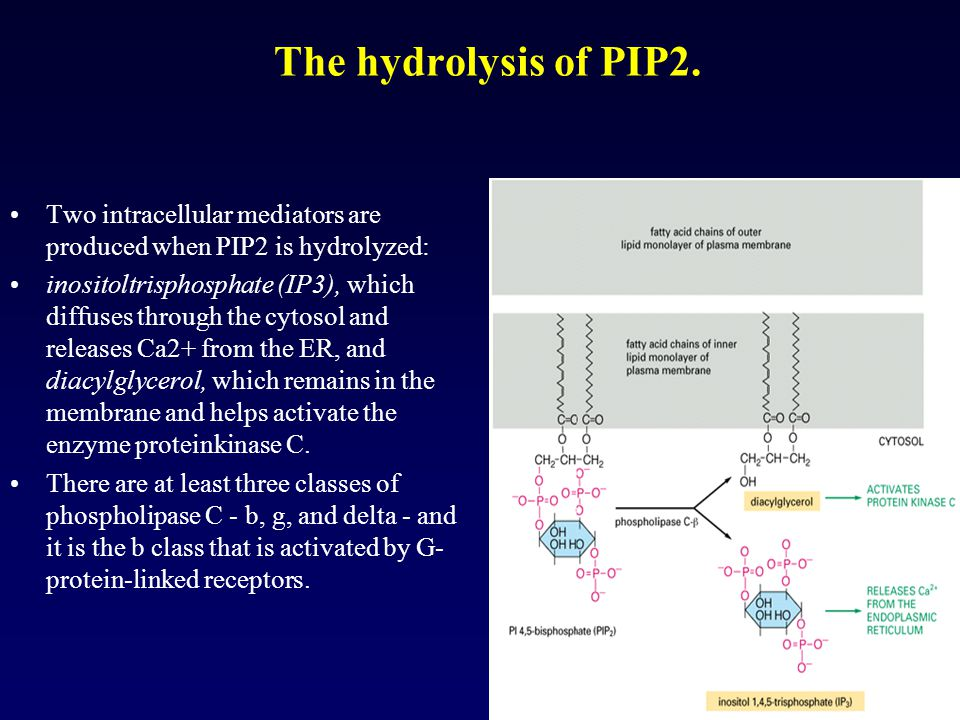 The hydrolysis of PIP2. Two intracellular mediators are produced when PIP2 is hydrolyzed: inositoltrisphosphate (IP3), which diffuses through the cyto