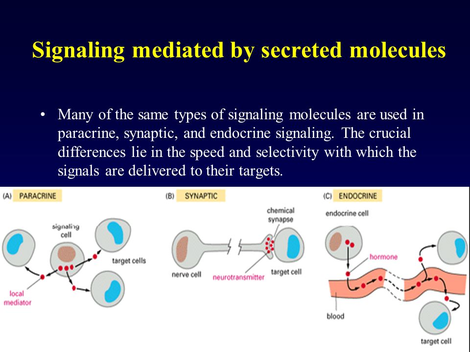 Signaling mediated by secreted molecules Many of the same types of signaling molecules are used in paracrine, synaptic, and endocrine signaling. The c