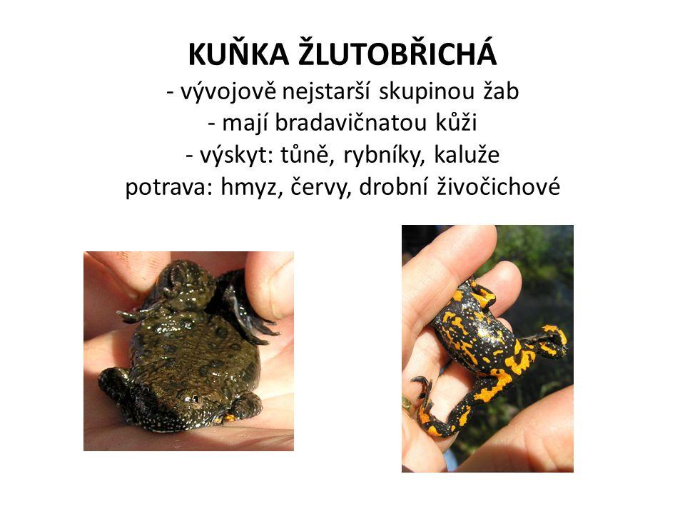 KUŇKA ŽLUTOBŘICHÁ - vývojově nejstarší skupinou žab - mají bradavičnatou kůži - výskyt: tůně, rybníky, kaluže potrava: hmyz, červy, drobní živočichové