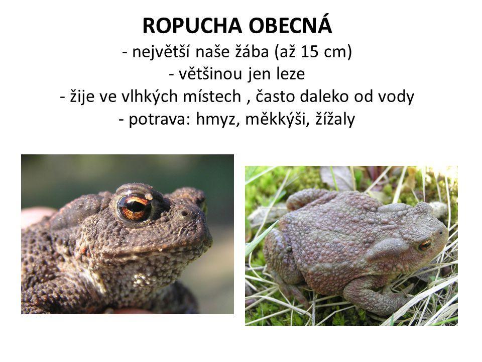 ROPUCHA OBECNÁ - největší naše žába (až 15 cm) - většinou jen leze - žije ve vlhkých místech, často daleko od vody - potrava: hmyz, měkkýši, žížaly