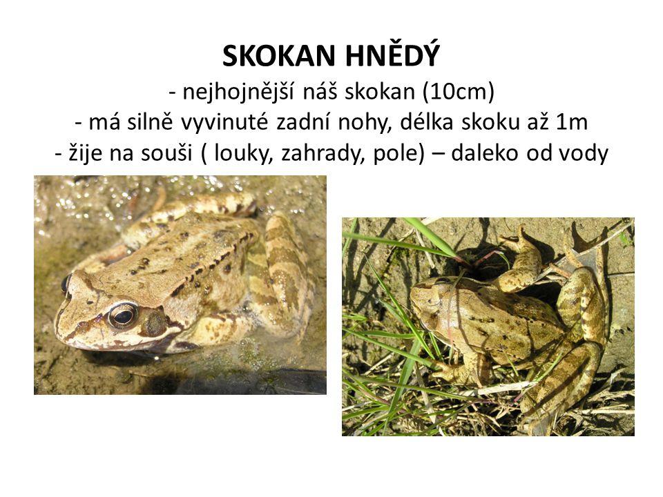 SKOKAN HNĚDÝ - nejhojnější náš skokan (10cm) - má silně vyvinuté zadní nohy, délka skoku až 1m - žije na souši ( louky, zahrady, pole) – daleko od vod