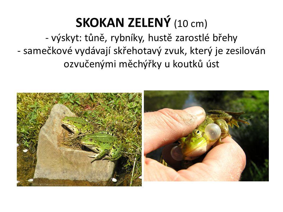 SKOKAN ZELENÝ (10 cm) - výskyt: tůně, rybníky, hustě zarostlé břehy - samečkové vydávají skřehotavý zvuk, který je zesilován ozvučenými měchýřky u kou