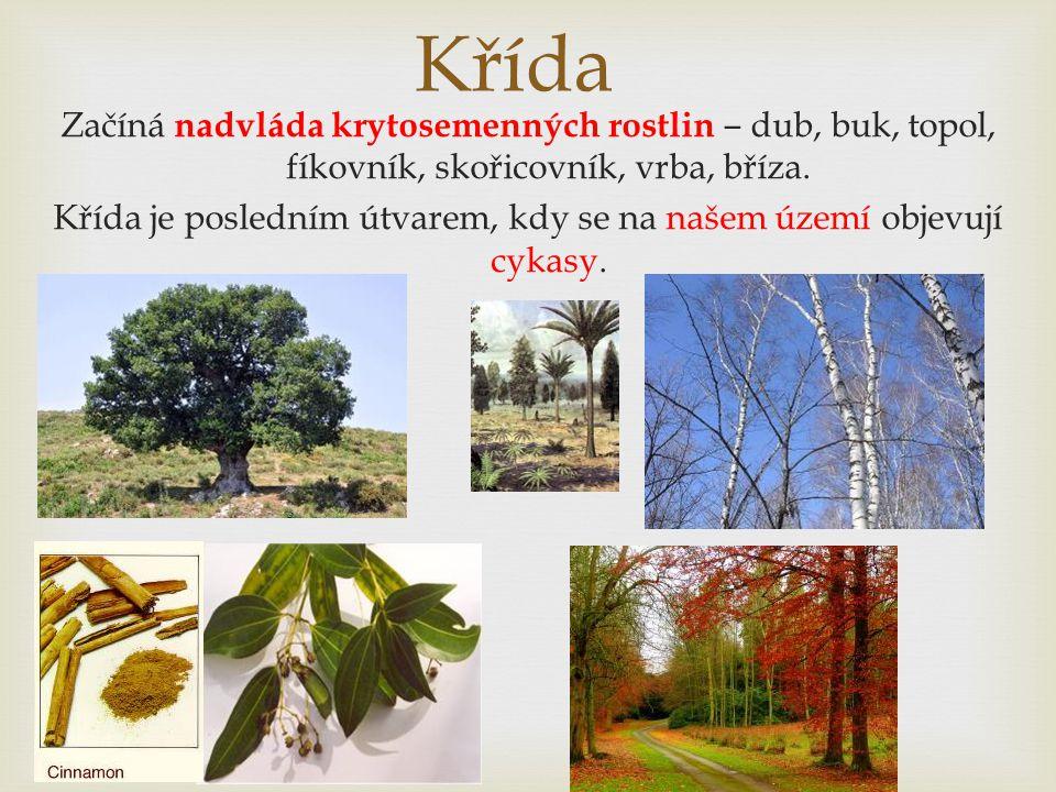 Křída Začíná nadvláda krytosemenných rostlin ‒ dub, buk, topol, fíkovník, skořicovník, vrba, bříza. Křída je posledním útvarem, kdy se na našem území