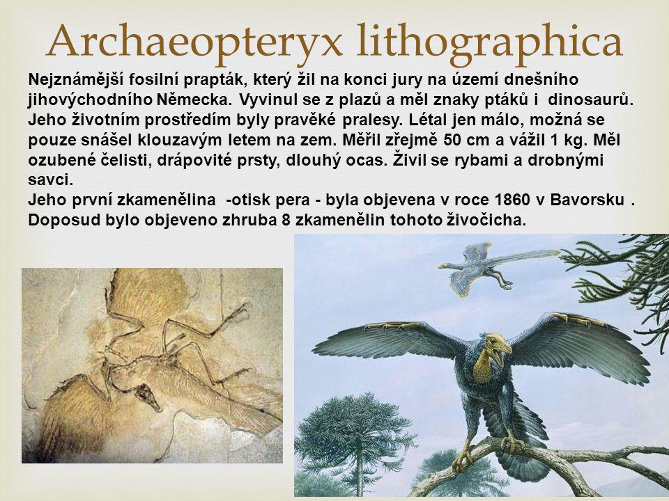Archaeopteryx lithographica Nejznámější fosilní prapták, který žil na konci jury na území dnešního jihovýchodního Německa. Vyvinul se z plazů a měl zn