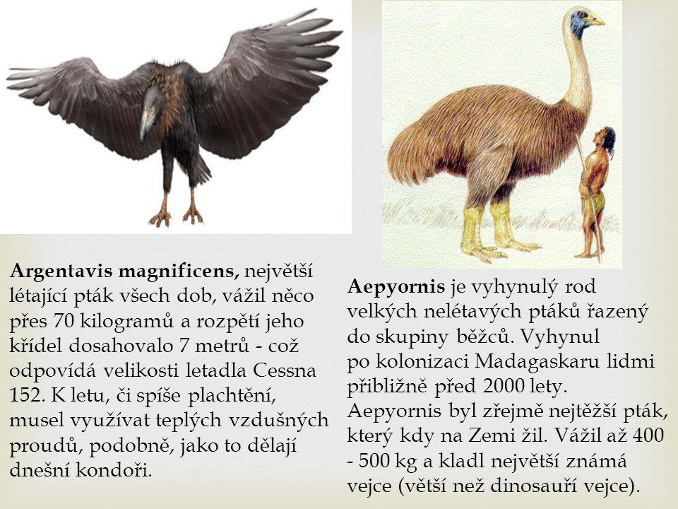Argentavis magnificens, největší létající pták všech dob, vážil něco přes 70 kilogramů a rozpětí jeho křídel dosahovalo 7 metrů - což odpovídá velikos