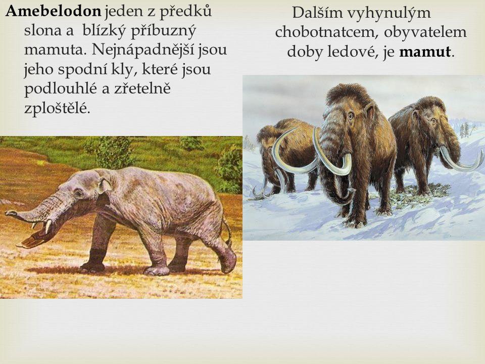 Amebelodon jeden z předků slona a blízký příbuzný mamuta. Nejnápadnější jsou jeho spodní kly, které jsou podlouhlé a zřetelně zploštělé. Dalším vyhynu