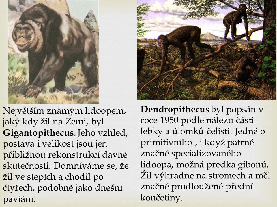 Největším známým lidoopem, jaký kdy žil na Zemi, byl Gigantopithecus. Jeho vzhled, postava i velikost jsou jen přibližnou rekonstrukcí dávné skutečnos