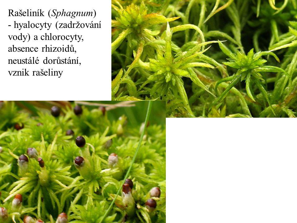 Rašeliník (Sphagnum) - hyalocyty (zadržování vody) a chlorocyty, absence rhizoidů, neustálé dorůstání, vznik rašeliny